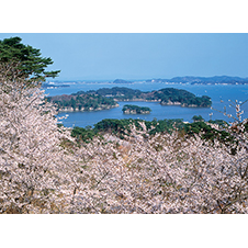 松島湾と桜